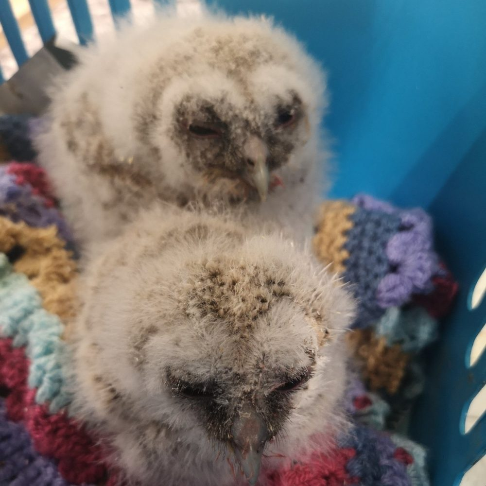 Two tawny owl chicks rescued by Wildlife Rescue and Ambulance Service in Enfield