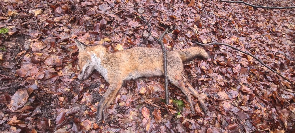 A dead fox found in Whitewebbs Park without any obvious sign of injury