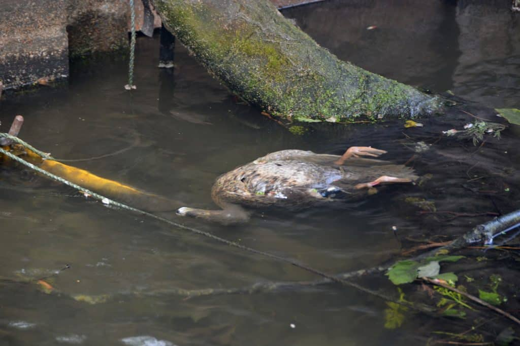 A dead duck floating in the New River Loop near the Coack and Horseshoes Pub in Enfield Town