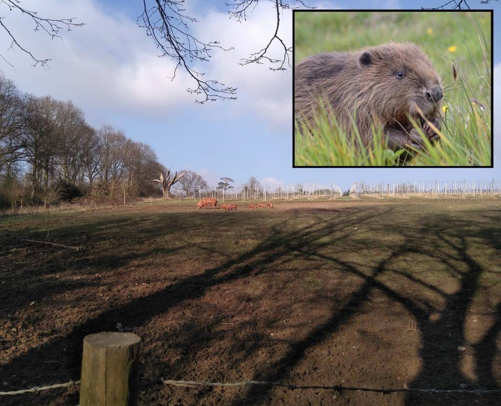 Forty Hall Farm is currently home to pigs, cattle, sheep and goats, but could soon also play host to Eurasian beavers (inset)